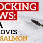 Millions Outraged by the FDA's Approval of GMO Salmon