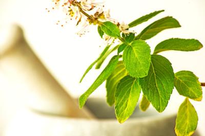 Holy-Basil-Leaf