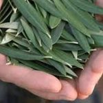 How Olive Leaf Helps Lower Blood Pressure